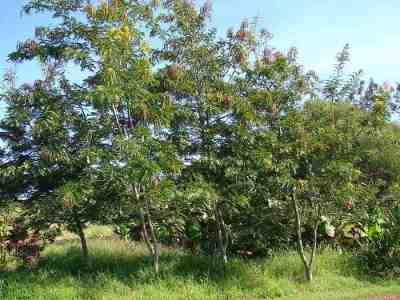 Pohon Johar (Senna siamea)