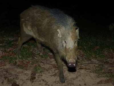 Babi hutan di Indonesia