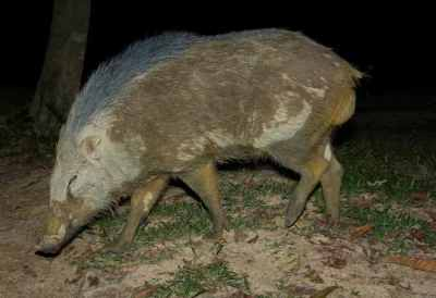 Babi Hutan (Sus scrofa vittatus) 2