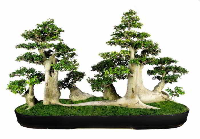 Pohon Serut Streblus Asper Favorit Tanaman Bonsai Alamendah S Blog