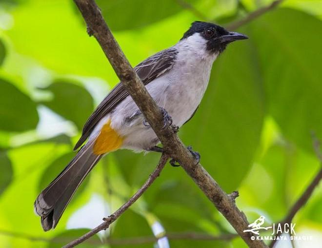 Bagaimana Cara Ternak Budidaya Burung Kutilang Agar Sukses Bagi