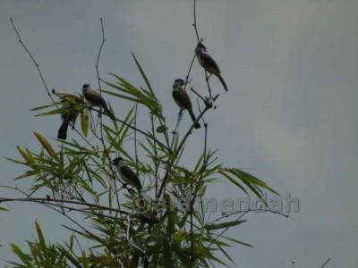 Cucak Kutilang Pycnonotus aurigaster