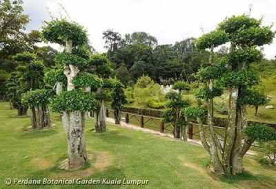 Pohon Serut di Taman