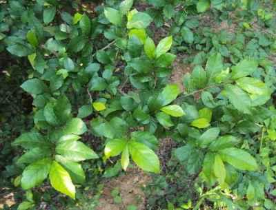 Serut (Streblus asper)