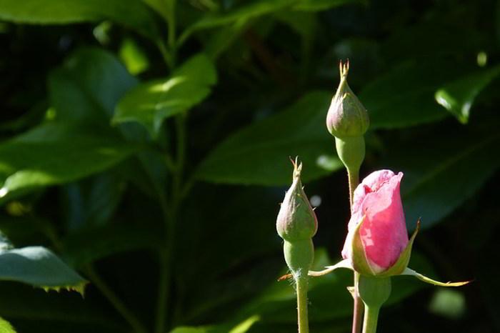 Kuncup Bunga Mawar