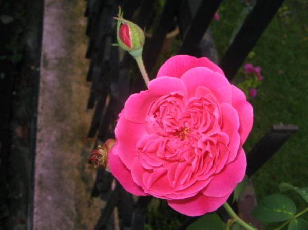 Kumpulan Gambar Bunga Mawar Cantik Alamendah S Blog