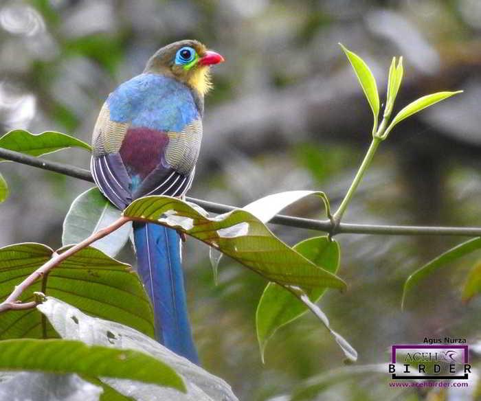Luntur Sumatera (Apalharpactes mackloti)