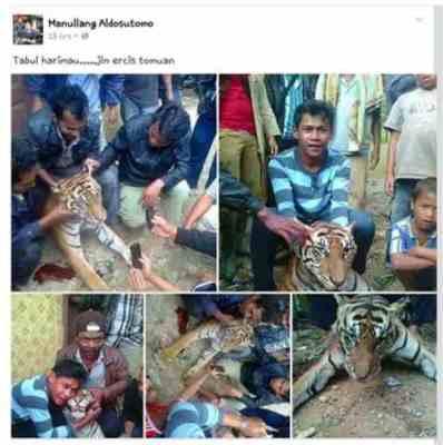 Manullang Adisutomo Menyiksa Hewan harimau
