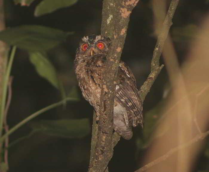 Celepuk Jawa Otus Angelinae Burung Hantu Endemik Jawa Alamendah S Blog