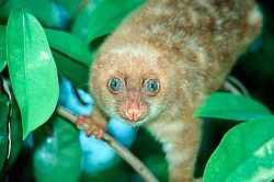 Kuskus Tutul Biak (Spilocuscus wilsoni)