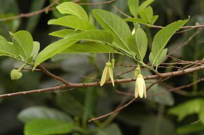 Bunga Srikaya Anona squamosa