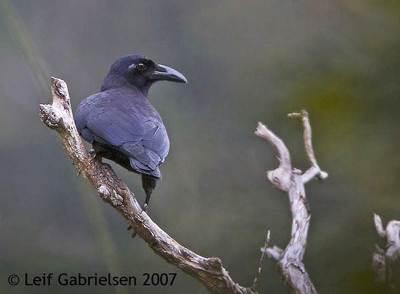 Gagak Hutan (Corvus enca)