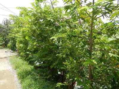 Pohon Srikaya Anona squamosa