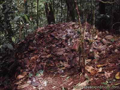 Sarang Maleo Waigeo (Aepypodius bruijnii)