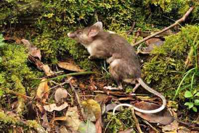 Tikus Hidung Babi (Hyorhinomys stuempkei)