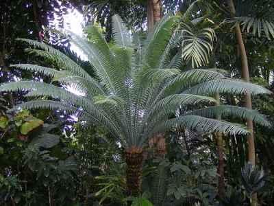 Tumbuhan Paku dari genus Dioon