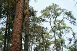 Tusam Sumatera (Pinus merkusii)
