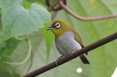 Kacamata Enggano (Zosterops salvadorii)