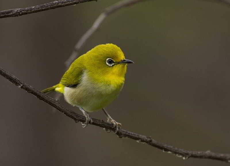 burung pleci pemakan nektar