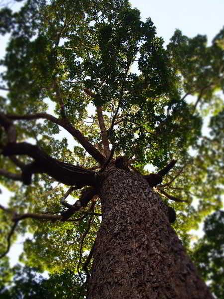 Pohon Ki Tenjo atau Mersawa Daun Lebar (Anisoptera costata Korth.)