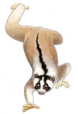 Kukang Jawa (Nycticebus javanicus) Stephen D. Nash