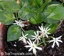 Melati Australia (Jasminum simplicifolium)