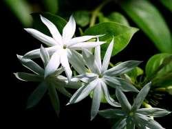 Melati Bintang (Jasminum multiflorum)