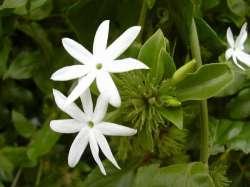 Melati Hutan (Jasminum elongatum)
