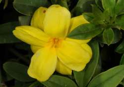Melati Primrose (Jasminum mensyi)