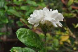 Melati Putih (Jasminum sambac)