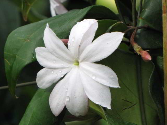 nama gambar bunga melati raja