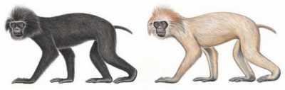 Monyet Ekor Babi (Simias concolor) Stephen D