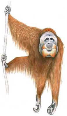 Orangutan Sumatera (Pongo abelii) Stephen D