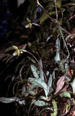 Anggrek Kasut Hijau (Paphiopedilum javanicum)