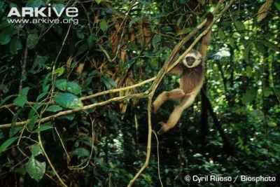 Owa Kalimantan (Hylobates albibarbis)