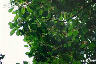 Keruing Dipterocarpus costulatus