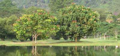 Pohon Dehaasia