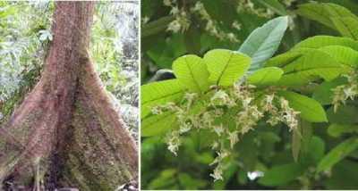 Shorea macrantha
