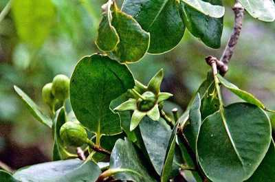 Sonneratia griffithii