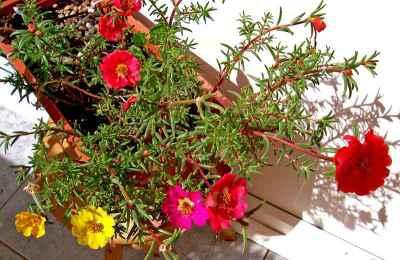 Bunga Cantik Manis (Portulaca grandiflora)