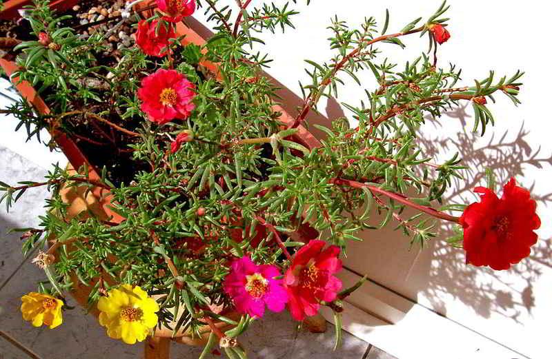 Portulaca grandiflora bunga pukul sembilan nan cantik manis bunga cantik manis portulaca grandiflora ccuart Choice Image