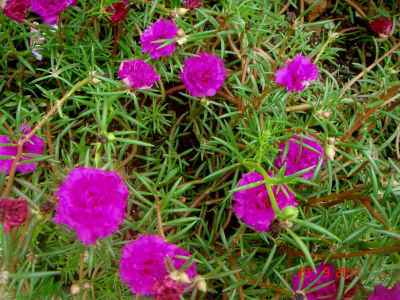 Bunga Pukul Sembilan (Portulaca grandiflora)