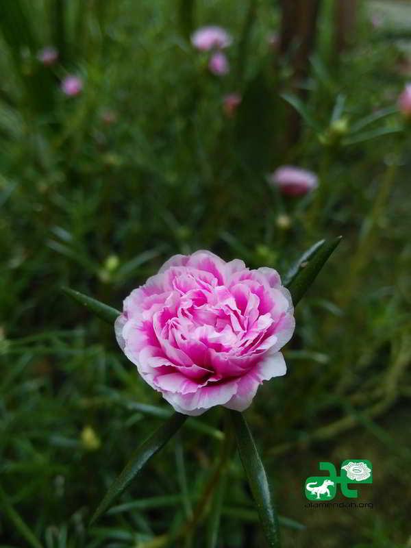 Portulaca grandiflora bunga pukul sembilan nan cantik manis portulaka atau bunga pukul sembilan ccuart Choice Image