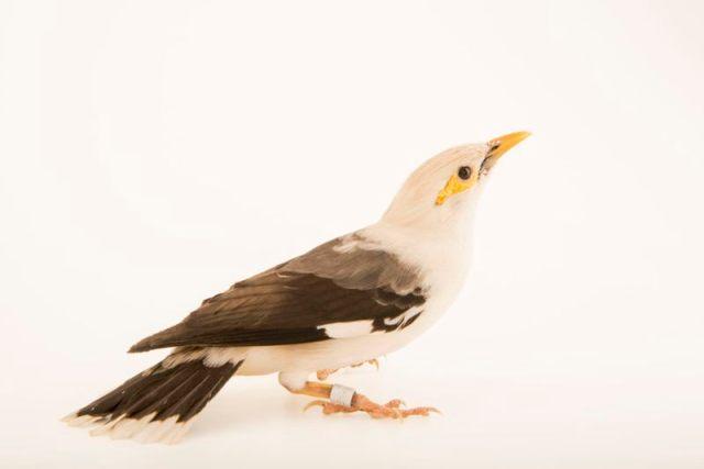 Burung jalak tunggir-abu (Acridotheres tertius)